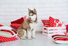 High bred adorable Siberian Husky puppy. As the sweetest present Royalty Free Stock Photo
