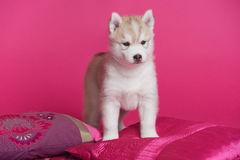 High bred adorable Siberian Husky puppy Stock Images