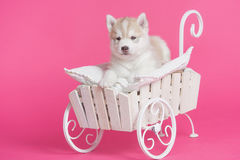 High bred adorable Siberian Husky puppy. In decorative cart on bright pink background Royalty Free Stock Photography