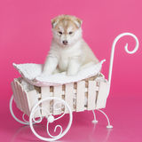 High bred adorable Siberian Husky puppy. In decorative cart on bright pink background Stock Photography