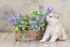 High bred adorable Siberian Husky puppy Royalty Free Stock Photography