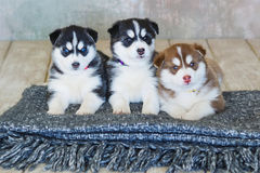 High bred adorable Siberian Husky Royalty Free Stock Photo