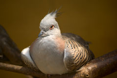 High-bred pigeon. Sitting on a branch in an enclosure Royalty Free Stock Image