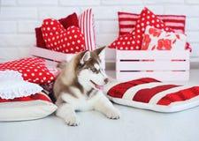 High bred Siberian Husky puppy Stock Photo
