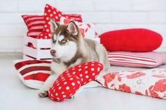 High bred Siberian Husky puppy Royalty Free Stock Photos