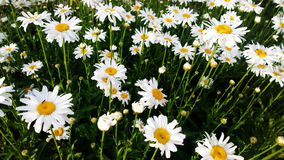 High bright field of daisies Stock Photos