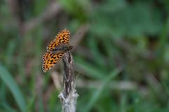 High Brown Fritillary Argynnis adippe orange butterfly getting ready to fly. High Brown Fritillary Argynnis adippe elegant orange butterfly getting ready to fly stock images