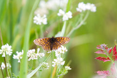 High Brown Fritillary Butterflies On White Flower Royalty Free Stock Photography