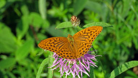 High brown fritillary butterfly stock photos