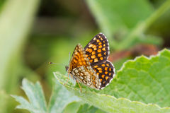 High Brown Fritillary Butterfly on Green Leaf Royalty Free Stock Photography