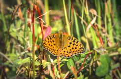 High brown fritillary butterfly in green nature. With open orange wings stock photos
