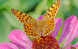 High brown fritillary butterfly Royalty Free Stock Image
