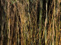 High brown green reeds. Natural messy high brown green reeds Royalty Free Stock Images