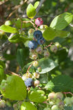 High-bush Blueberries. Colorful blue and purple berries lit by the early morning sun, with pale apple green berries waiting to ripen in the same handful Royalty Free Stock Images