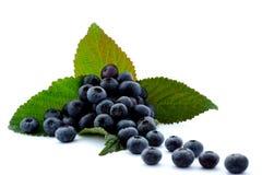 High bush blueberry Stock Photos