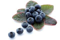 High bush blueberry Royalty Free Stock Image
