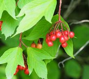 High Bush Cranberry Or Viburnum Trilobum. High bush cranberry or Viburnum trillium with berries in early autumn stock images