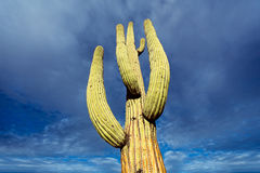 High cactus Stock Photo