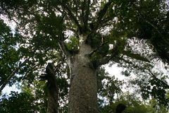 High in the Canopy. The canopy of native Kauri Trees, Waipoua Forest, Northland New Zealand stock photo