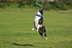 High catch. Border collie catching frisbee high in the air stock photos