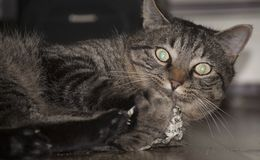 High On Catnip. A cat, high on catnip, freezes at the site of the camera Royalty Free Stock Photography