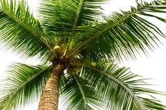High coconut tree Stock Image