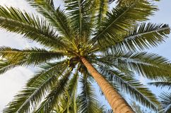 High coconuts and leaves of palm tree. Details of high coconuts and leaves of palm tree with blue sky background Royalty Free Stock Photography