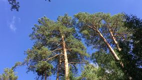High coniferous trees against the sky. Bialowieza Forest. High coniferous trees and pine trees in the forest against the sky. Bialowieza Forest stock video