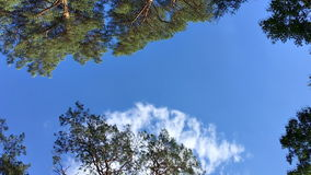 High coniferous trees against the sky. Bialowieza Forest. High coniferous trees and pine trees in the forest against the sky. Bialowieza Forest stock footage