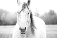 Montana Horse in Black and White - Face Off. High contrast black and white photo of a Montana horse in the winter Royalty Free Stock Photo