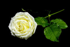 High contrast of black and white of the white rose on black background Royalty Free Stock Photos