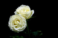 High contrast of black and white of the white rose on black background Royalty Free Stock Image