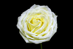 High contrast of black and white of the white rose on black background Stock Image