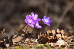 Blue Anemone hepatica common hepatica, liverwort, kidneywort, pennywort flower royalty free stock photos