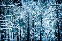 High contrast, snowy forest with branches, bare trees and evergreen trees in winter weather stock images