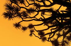 Silhouette of a dragon`s blood tree against an orange sunset sky Stock Photo