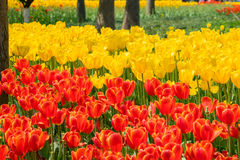 The high contrast of orange and yellow tulips garden Royalty Free Stock Photography