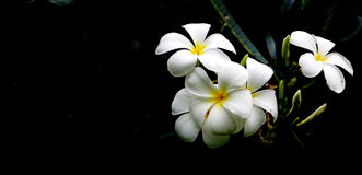High contrast Plumeria flowers Royalty Free Stock Images