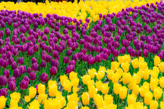 The high contrast of purple and yellow tulips garden Royalty Free Stock Photo