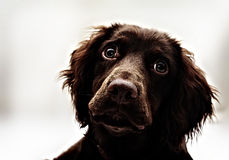 High Contrast Spaniel Stock Image