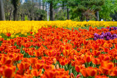 The high contrast of yellow and orange tulips garden Stock Photography
