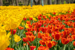 The high contrast of yellow and orange tulips garden Royalty Free Stock Image