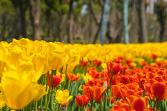 The high contrast of yellow and orange tulips garden Royalty Free Stock Photo