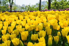 The high contrast of yellow tulips garden Royalty Free Stock Image