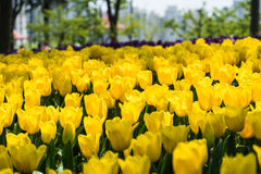 The high contrast of yellow tulips garden Royalty Free Stock Photography