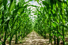 High corn crops. On a row stock images