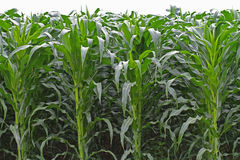 High corn crops on a row. Stock Photo