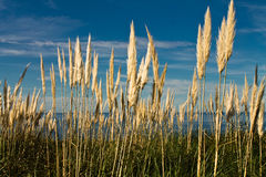 High cortaderia plants rising up in blue sky Stock Image