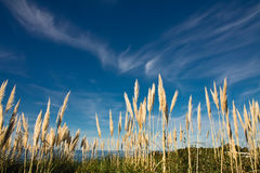 High cortaderia plants rising up in blue sky Royalty Free Stock Photo