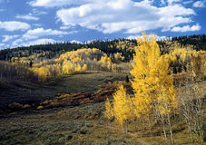High Country Fall A. Beautiful fall scene with golden Aspen trees, sage, and pines under blue sky with white clouds Royalty Free Stock Photo